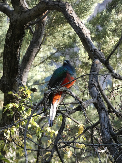 Perched Eared Quetzal.