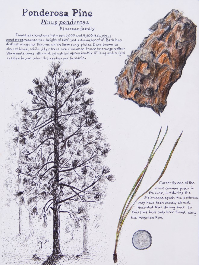 Scientific illustration of Pondersosa Pine feating bark, needle and whole tree.