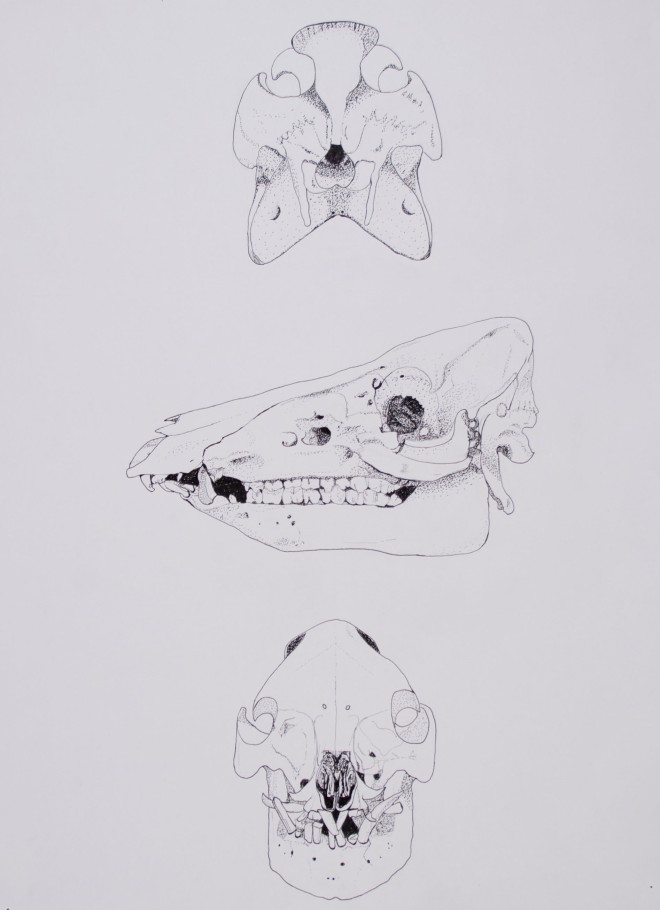 Scientific illustration of horse skull from three angles.