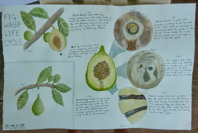 Watercolored infographic of fig wasp life cycle