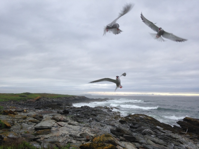 Three Common Terns diving aggresively with rocky coast and ocean in the background